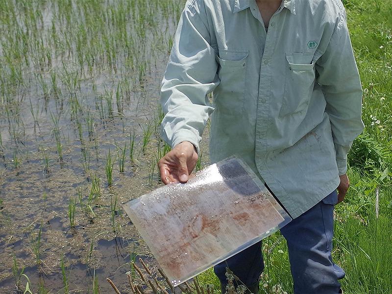 光龍の田んぼに置いた波動シート(自然栽培米。いのちの壱)