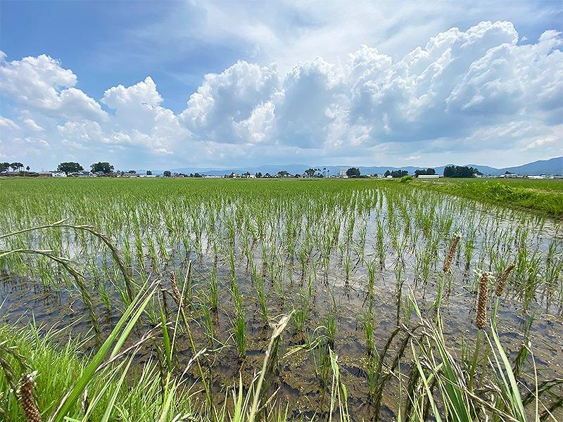 自然栽培米で育てる光龍(自然栽培米。いのちの壱)